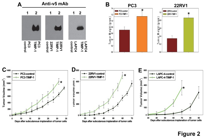 TIMP-1 promotes in vivo growth of prostate cancers. A . Establishment of pooled populations of PC3, 22RV1, and LAPC-4 cells expressing v5 epitope tagged TIMP-1 or transduced with the empty expression vector alone (controls). Secreted v5-tagged TIMP-1 was detected by anti-v5 mAb (Invitrogen). B . TIMP-1 promotes PC3 and 22RV1 prostate cancer growth in vivo . Weights of the tumors derived from PC3 and 22RV1 prostate cancer cells expressing TIMP-1v5 or infected with the empty expression constructs (PC3-control and 22RV1-control) were measured 5 or 10-weeks, respectively, after subcutaneous implantation of the cancer cells into Rag-2/II2rg mice (Taconic). n=6. * p
