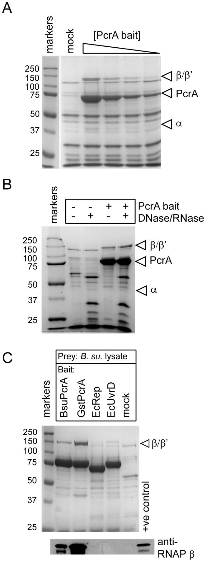Interactions between PcrA helicase and RNAP studied using magnetic bead pull down assays. (A) SDS-PAGE gel showing dose-dependent pull down of the core RNAP subunits from a DNA/RNA -depleted B. subtilis cell extract by biotinylated BsuPcrA (between 2 - 17 µg) on magnetic streptavidin beads. In the mock pull down, the beads were not baited with PcrA. (B) Depletion of nucleic acids from the cell extract by treatment with DNase and RNase has no apparent effect on the efficiency of RNAP pull down by BsuPcrA. (C) Interaction with Bacillus RNAP is specific to the PcrA helicase. The beads were baited with the helicase indicated and used to pull down proteins from B. subtilis cell extract (upper panel). The samples were analysed for the presence of RNA polymerase using an antibody against the β subunit (lower panel). The positive control lane contains purified RNA polymerase.