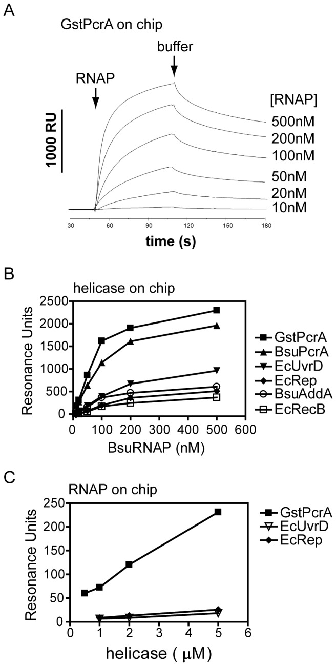 PcrA helicase interacts directly with purified RNA polymerase. Protein-protein interactions were monitored using surface plasmon resonance as described in the Methods section. (A) Example sensorgrams for the binding of BsuRNAP to immobilized GstPcrA. (B) Different biotinylated helicases were immobilized in a flow cell containing a streptavidin-coated sensor chip. Increasing concentrations of BsuRNAP were flowed over and binding was monitored as an increase in resonance units. The graph shows the collated results for binding of BsuRNAP to all immobilized helicases. C) his-tagged BsuRNAP was amine-coupled to a CM5 chip and the GstPcrA, EcUvrD and EcRep helicases were subsequently flowed over at different concentrations. Binding was monitored as an increase in resonance units.