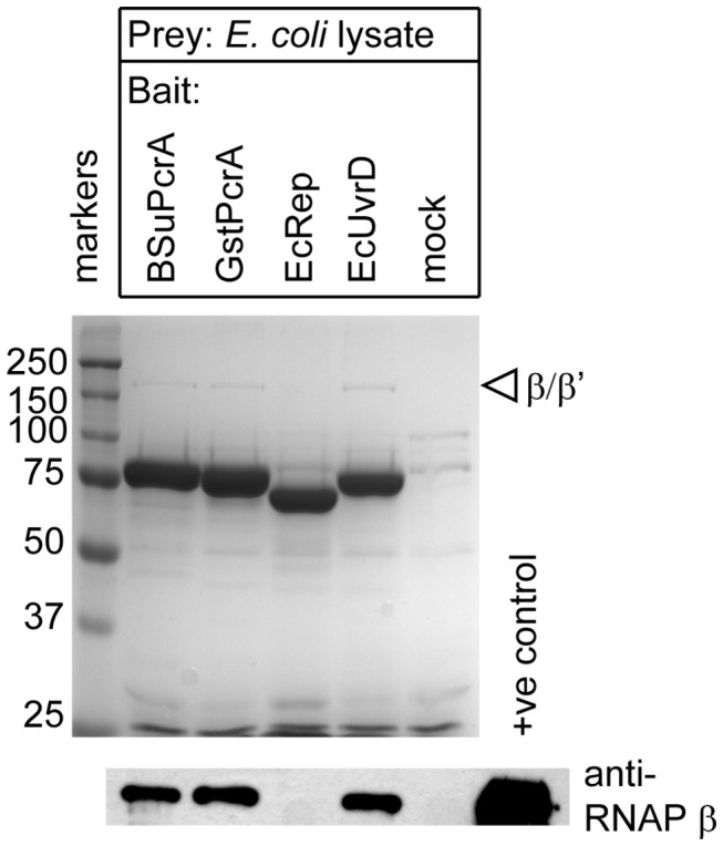 Interaction between Escherichia coli UvrD helicase and RNAP. Pull down experiments were performed as described in the methods using the indicated biotinylated helicase as bait and E. coli cell extract as the prey. Proteins retained on streptavidin magnetic beads were compared against a mock control experiment in which the beads were not baited (upper panel). The samples were also analysed by western blot for the presence of RNAP using an antibody against the β subunit (lower panel). The positive control lane contains purified RNA polymerase.