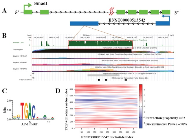 Bioinformatics analysis of ENST00000513542. ( A ) ENST00000513542 is a natural antisense lncRNA, transcribed from 2,105 bp downstream of the second exon of the Smad1 gene. ( B ) Several tracks of interest, including conservation, histone markings, DNase hypersensitivity, and TFBS are displayed. Integrated Regulation track data for a region spanning the ENST0000051354 are shown. The red box shows a region of overlap between the various tracks. ( C ) Transcription factor binding sites (TFBS) prediction indicated that ENST0000051354 loci combine with AP-1 as a cis-acting element. ( D ) Further catRAPID analysis indicated a strong RNA-protein interaction between ENST0000051354 and TCF-4, which is the TF of SMAD1.