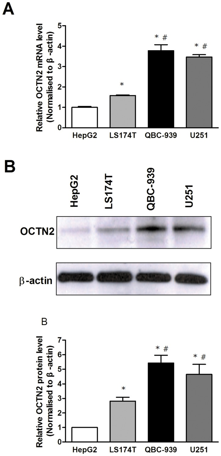 Expression of OCTN2 in cancer cell lines. (A), analysis of mRNA levels of OCTN2 in cancer cell lines. Total RNA in cancer cells was purified by TRIzol reagent for cDNA synthesis and the mRNA levels of OCTN2 were analyzed by Quantitative RT-PCR. (B), analysis of protein levels of OCTN2 in cancer cells. Total proteins were extracted and protein levels of OCTN2 were analyzed by western blotting. The relative expression of mRNA and protein was normalized to β-actin. The expression of HepG2 was set as 1. All of mRNA and protein analysis were performed three times. Significant difference from HepG2 or LS174T cell is denoted with asterisk (*, p