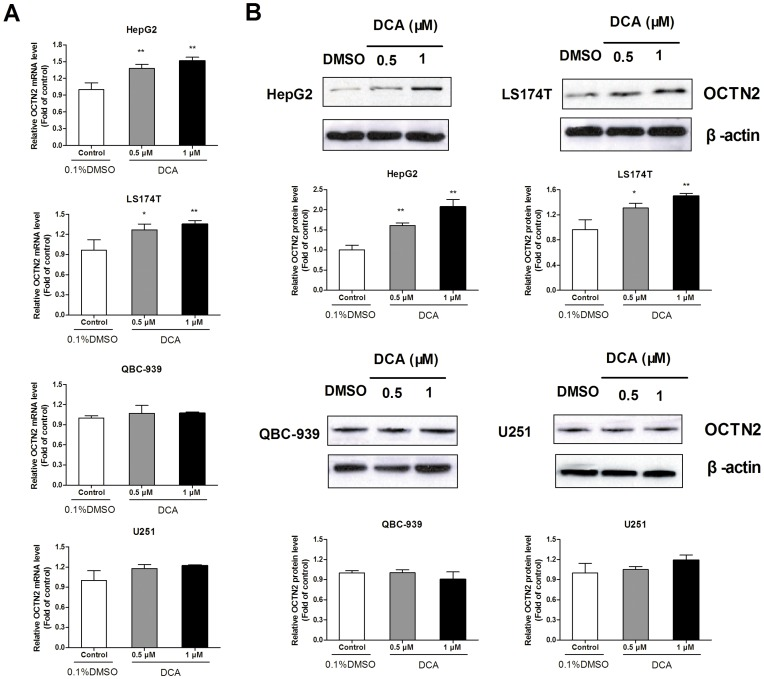 Effects of DCA on mRNA and protein levels of OCTN2 in cancer cell lines. (A), analysis of mRNA levels of OCTN2 in DCA-treated cancer cell lines. After treatment with 0.5 and 1 μM DCA, total RNA in cancer cells was purified by TRIzol reagent for cDNA synthesis and the mRNA levels of OCTN2 were analyzed by Quantitative RT-PCR. (B), analysis of protein levels of OCTN2 in DCA-treated cancer cell lines. Total proteins were extracted and protein levels of OCTN2 were analyzed by western blotting. The relative expression of mRNA and protein was normalized to β-actin. Data presented represent the mean ± S.D. of three independent experiments. Significant difference from control group of 0.1% DMSO is denoted with asterisks (*, p