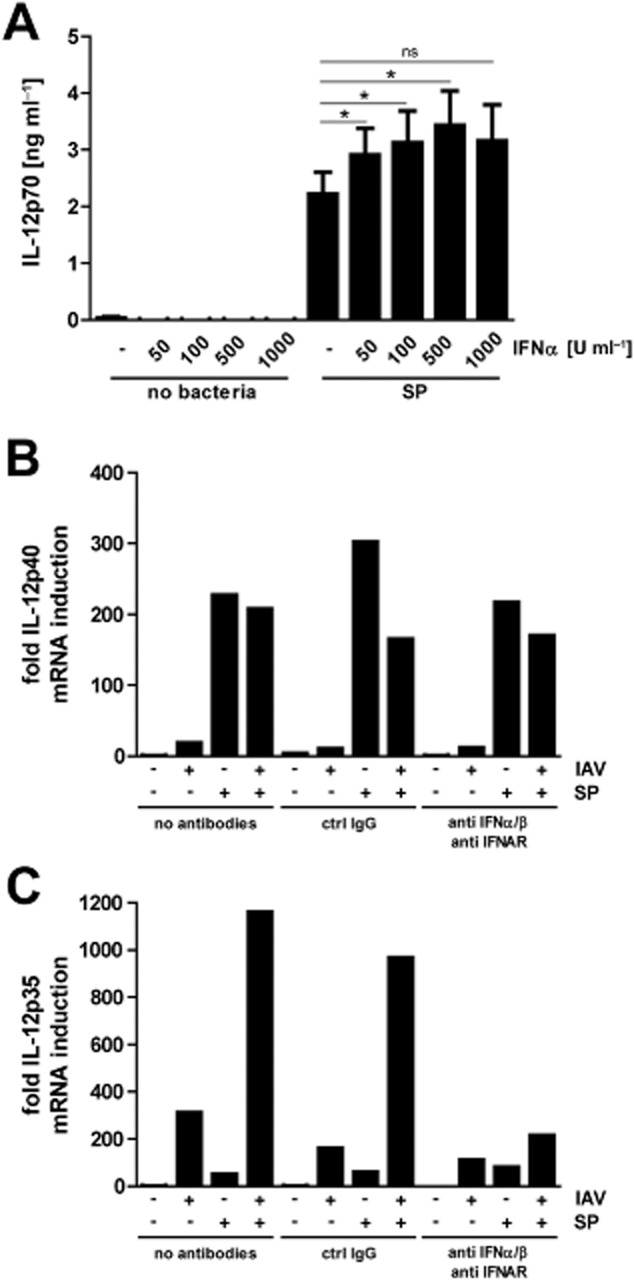 Type I IFNs are responsible for the priming of DCs to produce IL-12p70. MDDCs were incubated with different concentrations of recombinant human IFN-α 4 h prior to infection with SP. The cells were further incubated for 18 h before the concentration of IL-12p70 in the supernatants was measured by ELISA. MDDCs were sequentially infected with IAV and SP in the presence of neutralizing antibodies against IFN-α, IFN-β and IFNAR. After 22 h incubation the cells were lysed and total RNA was isolated and assayed for the presence of IL-12p35 and IL-12p40 mRNA. Ct values were normalized against γ-actin and the relative induction of the genes was calculated using the ΔΔCt method. Values represent mean ± SEM three independent experiments with different donors (A) or one representative donor of 3 (B, C). Statistical analysis was performed using paired Student's t -test. (* P
