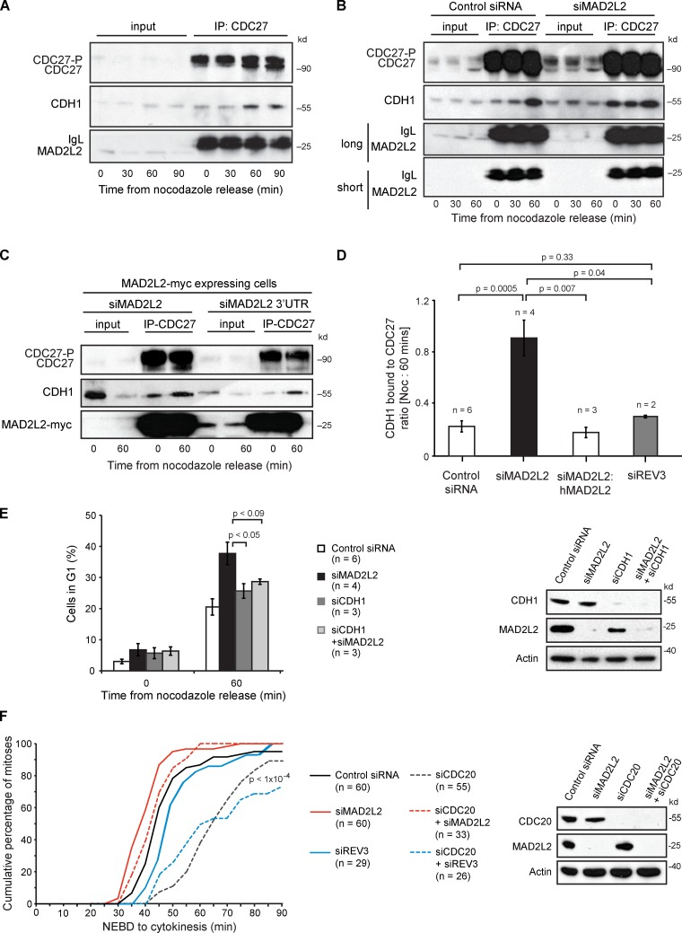 """Depletion of MAD2L2 leads to premature binding of CDH1 to the APC/C in prometaphase. (A) CDH1 interacts with the APC/C within 60 min after nocodazole release. <t>Immunoprecipitation</t> with anti-CDC27 from U2OS cells arrested in nocodazole and at 30, 60, and 90 min after release blotted for CDH1 to monitor the association of CDH1 with the APC/C. (B) Silencing of MAD2L2 leads to premature association of CDH1 with CDC27. (C) Complementation of the premature association of CDH1 with CDC27. The cells in this experiment all stably express hMAD2L2-myc. siMAD2L2 silences both the endogenous MAD2L2 and the transgenic MAD2L2-myc. The siMAD2L2 3′UTR only silences the endogenous MAD2L2, leaving the MAD2L2-myc expressed. See also Fig. 1 C . (D) Quantification of the premature association of CDH1 with CDC27 in MAD2L2-depleted cells. The amount of CDH1 immunoprecipitated with CDC27 was normalized to the <t>IgG</t> signal for each immunoprecipitation and the ratio of the amount of CDH1 pulled down in nocodazole (time = 0) and at 60 min after release was calculated. The constitutive association of CDH1 with CDC27 in prometaphase in MAD2L2-silenced cells results in an increase in this ratio, which approaches 1. """"n"""" represents the number of independent experiments. Error bars = SEM; P-value calculated with unpaired, two-tailed t test assuming equal variance. The additional blots contributing to this analysis are shown in Fig. S1 D . (E) Depletion of CDH1 prevents the rapid mitotic exit seen in cells lacking MAD2L2. The percentage of cells in G1 was assessed 60 min after nocodazole release. """"n"""" represents the number of independent experiments. Error bars = SEM; p, unpaired t test. The control siRNA and siMAD2L2 data are reproduced from Fig. 1 D for comparison. The effectiveness of the siRNA protocol is illustrated in the panel on the right. (F) Silencing of MAD2L2, but not REV3, can rescue the mitotic delay in CDC20-depleted cells. Quantification of the time taken for control (Contro"""