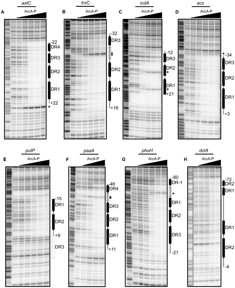 Analysis of predicted multiple DR elements by DNase I footprinting. DNase I footprinting data for a subset of ArcA regulated promoters. The regions protected by ArcA-P are indicated with vertical lines with predicted DR elements indicated by filled boxes with arrows indicating the directional orientation of DR elements. The numbers indicate the position relative to the previously determined transcription start site. Predicted DR elements not protected by ArcA-P are indicated by dashed grey boxes while dashed black boxes represent protected regions where no DR element greater than 0 bits was predicted. Samples were electrophoresed with Maxam–Gilbert ladders (A+G) made using the same DNA (lane 1). ArcA-P protein concentrations are given from left to right in terms of nM total protein. (A) Coding strand of the astC promoter, (D) acs promoter, (E) putP promoter and (G) phoH promoter. ArcA-P: 0, 50, 100, 200, 400, 600 nM. (B) Coding strand of the trxC promoter and (H) dctA promoter. ArcA-P: 0, 100, 200, 400, 600, 1000 nM. (C) Coding strand of the icdA promoter. ArcA-P: 0, 50, 150, 300, 600, 1000 nM. (F) Coding strand of the paaA promoter. ArcA-P: 0, 100, 200, 400, 600 nM.