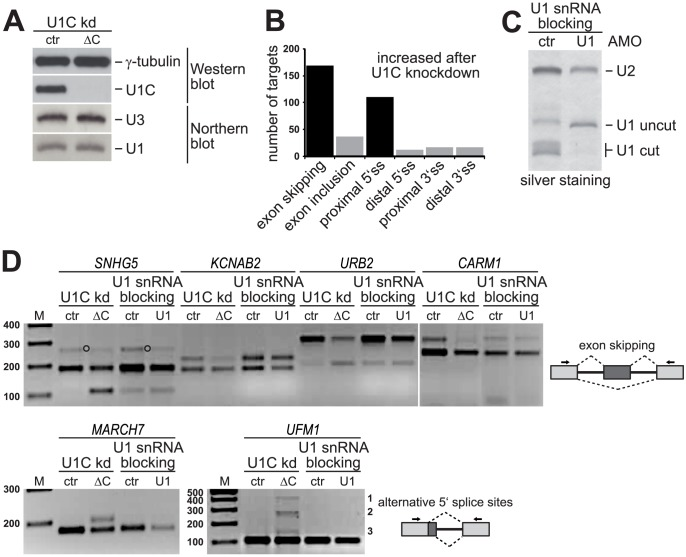 U1C depletion results in specific alternative splicing alterations in HeLa cells: Specificity and validation. ( A ) U1C knockdown (kd) in HeLa cells. Whole cell lysates were analyzed by SDS-PAGE and Western blot detecting U1C and γ-tubulin. U1 snRNA steady-state levels were analyzed by Northern blotting with probes specific for U1 snRNA and, as a loading control, U3 snoRNA. HeLa cells after U1C knockdown (ΔC) and luciferase-siRNA treated control cells (ctr) were compared. ( B ) Graphical overview of U1C-dependent alternative splicing targets identified by RNA-Seq analysis. ( C ) U1 snRNA blocking in HeLa cells. The efficiency of U1 snRNA blocking was determined by <t>RNase</t> H protection and silver staining. The positions of the full-length U1 snRNA (U1 uncut), the RNase H-cleaved U1 snRNA (U1 cut), and the U2 snRNA (as a control) are marked on the right. ( D ) Alternative splicing patterns of selected U1C target genes (names above the lanes) were analyzed by RT-PCR, using total RNA from HeLa cells after U1C-knockdown (ctr vs. ΔC) or U1 snRNA blocking (ctr vs. U1). Target-specific primers (arrows in the schematics on the right of the panels) were designed to amplify both alternative splicing isoforms. M , DNA size markers (in bp). Upper panel: Top and lower bands represent exon inclusion and skipping products, respectively; an unspecific product for SNHG5 is marked by open circles between the lanes. Lower panel: For MARCH7 top and lower bands reflect usage of the proximal and distal 5′ splice site, respectively. For UFM1 three alternative 5′ splice sites are activated upon U1C knockdown labeled with 1, 2, and 3 on the right.
