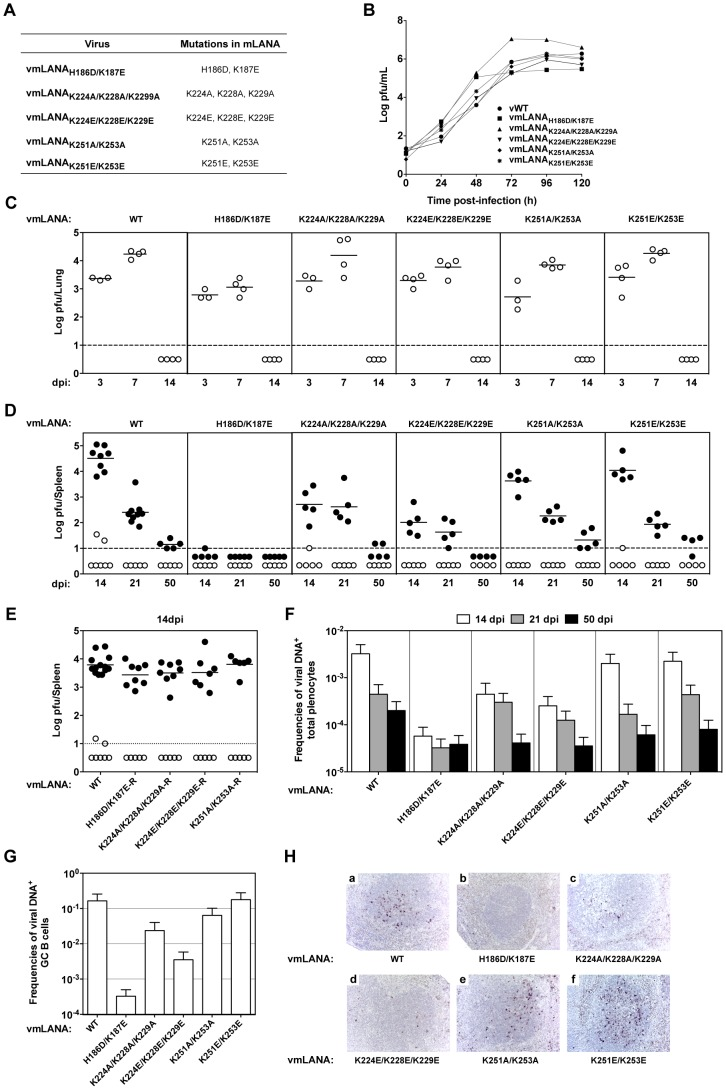 mLANA DNA binding is essential for virus persistence and the dorsal positive patch exerts a role in the expansion of GC B cells. ( A ) Amino acid substitutions in recombinant viruses (see also Figure S5 ). ( B ) Infection of BHK-21 cells at 0.01 p.f.u. per cell. Virus titres were determined by plaque assay. ( C ) Lungs from infected mice were removed and infectious viruses were titrated by plaque assay. ( D and E ) Quantification of latent infection in spleen by explant co-culture plaque assay (closed circles). Titres of infectious virus were determined in freeze/thawed splenocyte suspensions (open circles). Each circle represents the titre of an individual mouse. The dashed line represents the limit of detection of the assay. Mutant viruses are shown in panel D and revertant viruses in panel E. ( F and G ) Reciprocal frequencies of viral DNA-positive cells in total splenocytes ( F ) or GC B cells (CD19 + CD95 hi GL7 hi ) ( G ) were determined by limiting dilution and real-time PCR. Data were obtained from pools of five spleens per group. Bars represent the frequency of viral DNA-positive cells with 95% confidence intervals. ( H ) Identification of latently infected cells in spleens by in situ hybridization. Representative splenic sections from each group of viruses are shown. All images are magnified ×200. Dark staining indicates cells positive for virally encoded miRNAs (see also Table 4 ).