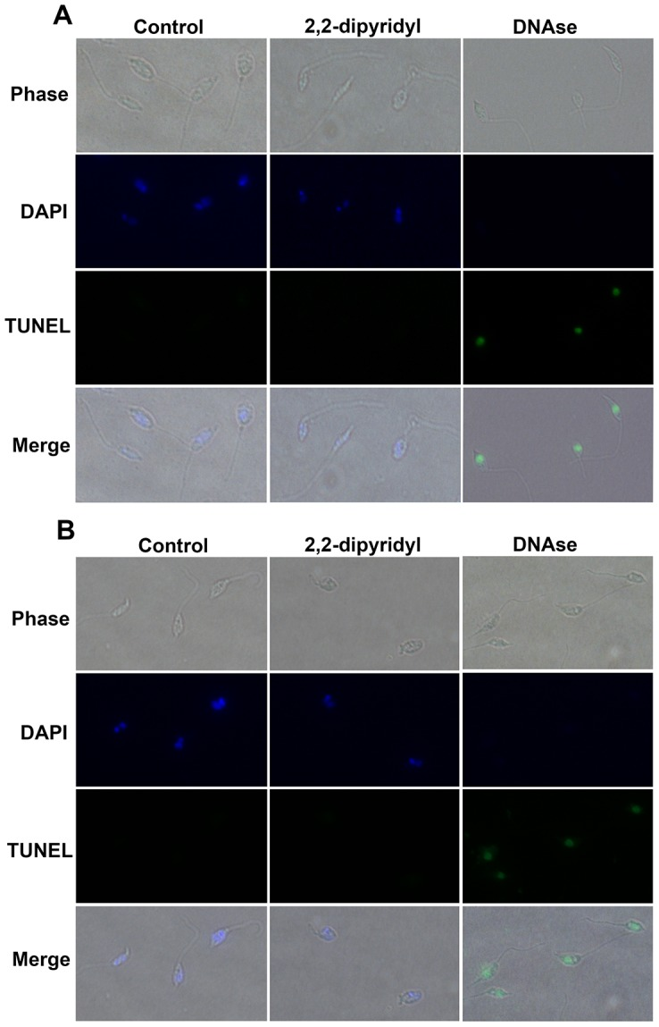 TUNEL assay. Promastigotes cultivated in control medium or treated with 100 µM 2,2-dipyridyl for 24 h (A) or 48 h (B) were examined by phase contrast microscopy and fluorescence microscopy at 100×. DAPI (blue channel) revealed intact nuclei and kinetoplasts in both control and treated promastigotes. TUNEL (green channel) detected DNA fragmentation exclusively in promastigotes treated with DNase. Merged images show the localization of the nuclei and kinetoplasts inside the cells.
