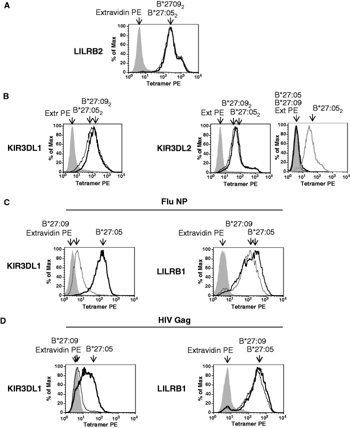 Similar binding of HLA-B*27:05 and HLA-B*27:09 dimers to KIR3DL1, KIR3DL2 and LILRB2. HLA-B*27:05 and HLA-B*27:09 heterodimers bind differently to KIR3DL1. ( A ) Representative FACS staining of LILRB2-transduced Baf3 cells with HLAB*27:05 (B*27:05 2 ) and HLA-B*27:09 (B*27:09 2 ) dimer tetramers. Cells were stained with extravidin PE (EX PE) as a negative control stain. ( B ) Representative FACS staining of KIR3DL1- and KIR3DL2-transduced Baf3 cells with HLA-B*27:05 (B*27:05 2 ) and HLA-B*27:09 (B*27:09 2 ) heavy chain dimer tetramers. Representative staining of KIR3DL2-transduced Baf3 cells with HLA-B*27:05 (B*27:05) and HLA-B*27:09 heterodimer (B*27:09) tetramers. Staining with HLA-B*27:05 (B*27:05 2 ) heavy chain dimer tetramers (B27 2 ) is shown for comparison. Cells were stained with extravidin PE (EX PE) as a negative control stain. ( C ) Representative FACS staining of KIR3DL1- and LILRB1-transduced Baf3 cells with HLA-B*27:05 (B*27:05) and HLA-B*27:09 (B*27:09) heterodimer tetramers formed with the FluNP epitope. Cells were stained with extravidin PE (EX PE) as a negative control stain. ( D ) Representative FACS staining of KIR3DL1- and LILRB1-transduced Baf3 cells with HLA-B*27:05 (B*27:05) and HLA-B*27:09 (B*27:09) heterodimer tetramers formed with the HIV GAG epitope. Cells were stained with extravidin PE (EX PE) as a negative control stain.