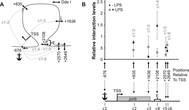 The 3C analysis of the junb locus. DC2.4 cells were treated (+LPS), or not (+LPS), by LPS and subjected to quantitative 3C analysis as described in 'Materials and Methods' section. ( A ) Map of the investigated interactions. The frequent cutter Dde I restriction enzyme was used to fractionate the junb locus, as we found it to be the only restriction enzyme that permits sufficiently resolutive analysis of this short locus. The positions of the Dde I sites (double arrows) used in this 3C analysis are indicated c1 to c6. c1 was taken as the anchor from which possible interactions with other region of the junb locus were assessed. Their locations are indicated relative to the junb TSS taken as +1/−1. The possible interactions that have been tested in this 3C experiments are indicated by dashed lines, which are labeled c1-c2 to c1-c6. The anchor amplification oligonucleotide used in 3C qPCR is indicated by a black simple arrow, whereas the other primers are indicated by gray ones. ( B ) Quantification of 3C analyses of the junb locus. The data represent the relative interaction frequencies between the anchor region (c1) containing the junb TSS and the various other tested sites (c2 to c6) of the junb locus. Relative interaction frequencies were determined by qPCR relative to standard curves as previously described ( 50 , 51 ). Data points represent the mean of four independent experiments ± SD. In the absence of LPS (black triangles), a strong interaction between the junb promoter and the downstream E element was observed (local peak for the c1-4 chimera). However, 1 h after LPS addition (gray circles), no specific interactions could be found.
