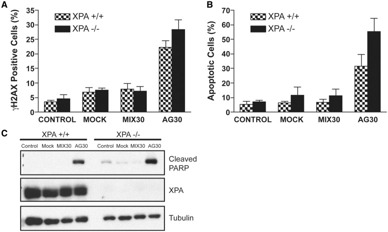 Role of XPA in the activation of triplex-induced apoptosis. ( A ) Analysis of γH2AX expression levels as a measure of triplex-induced DSBs in XPA-proficient and XPA-deficient cells 24 h post AG30 treatment. ( B ) Detection of Annexin V binding indicates an increase in apoptotic cell death in the absence of XPA 24 h posttreatment with 2 μg of oligonucleotides. ( C ) Western blot analysis of caspase-mediated cleavage of PARP as a measure of triplex-induced apoptosis.
