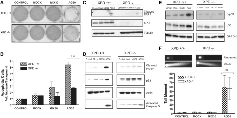 XPD is required for triplex-induced apoptosis. ( A ) Monolayer growth studies demonstrate that XPD-deficient cells are resistant to triplex-induced decrease in cell growth. ( B ) Knockdown of XPD results in significant reduction of induced apoptosis as measured by Annexin V staining (*** P