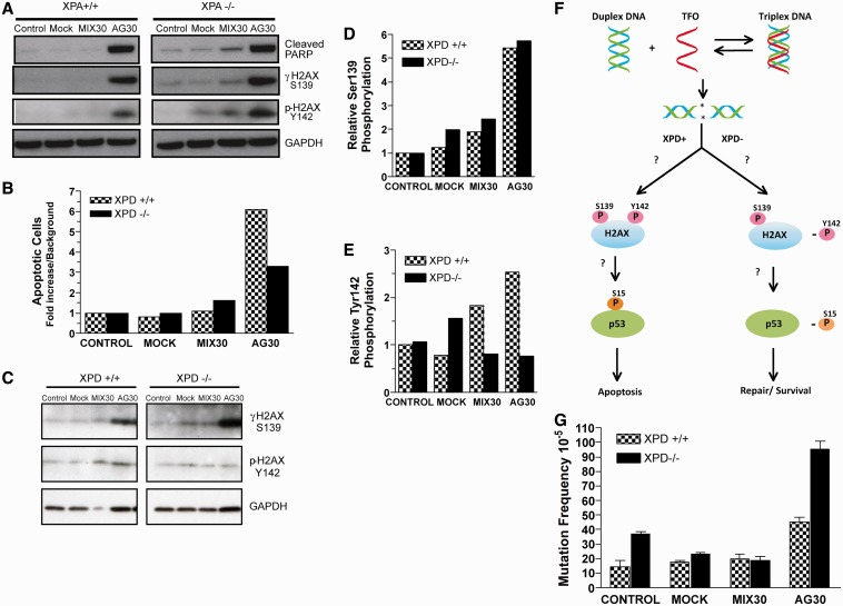Activation of apoptosis minimizes triplex-induced genomic instability. ( A ) Western blot analysis of H2AX phosphorylation at serine 139 and tyrosine 142 in XPA-proficient and -deficient cells 24 h following AG30 treatment. ( B ) Analysis of triplex-induced apoptosis in XPD+/+ and XPD−/− cells as measured by Annexin V staining. ( C ) Western blot analysis of the phosphorylation status of H2AX at serine 139 and tyrosine 142 in XPD-proficient and -deficient cell 24 h following TFO treatment. ( D and E ) Quantification of the relative S139 and Y142 phosphorylation levels in XPD-deficient cells compared with XPD-proficient cells in response to triplex-induced DNA DSBs. ( F ) Schematic of XPD-dependent triplex-induced apoptosis. ( G ) Triplex-induced genomic instability as determined by mutation frequencies in the supFG1 reporter gene in XPD +/+ and XPD −/− cells treated with TFOs. The frequency of mutations was calculated by dividing the number of colorless mutant plaques by the total number of plaques counted. Each experiment was performed in triplicate, and the standard errors were calculated for the mutation frequency. (mean ± SEM, n = 3).