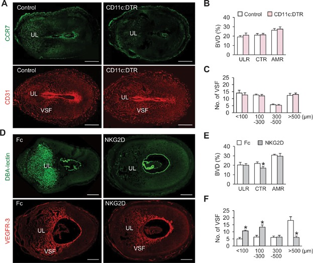 uNK cells, but not uDC, could be involved in EEVSF during post-implantation period A. Images showing CCR7 + uDCs and CD31 + BVs in the uteri of DTR (Control) and CD11c:DTR mice at 6.5 dpc after DTx treatment at 5.5 dpc. Scale bars, 500 µm. UL, uterine lumen. B, C. Comparisons of CD31 + BVD (%) in the ULR, CTR and AMR, and numbers of different sized VSFs in the CTR at 6.5 dpc in Control and CD11c:DTR mice. Each group, n = 4. D. Images showing DBA-lectin + uNK cells and VEGFR3 + VSFs in the uteri at 8.5 treated with Fc and anti-NKG2D antibody. Scale bars, 500 µm. E, F. Comparisons of CD31 + BVD (%) in the ULR, CTR and AMR, and numbers of different sized VSFs in the CTR at 8.5 dpc treated with Fc and anti-mouse NKG2D antibody. Each group, n = 4. * p