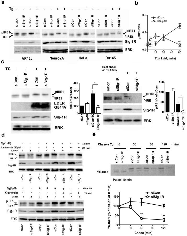 Sigma-1 receptors stabilize IRE1. (a) Sig-1R knockdown decreases phosphorylated IRE1 (pIRE1) in various types of cells when cells are under ER stress. Two days after the transfection of control siRNA (siCon) or Sig-1R siRNA (siSig-1R), cells were treated with thapsigargin (Tg) at 1 µM for 60 min. IRE1 were immunoprecipitated from 60–1000 µg of total protein lysates. (b) The temporal course of pIRE1 levels during ER stress. Control or Sig-1R siRNA was transfected to CHO cells two days before Tg. pIRE1 was measured by immunoprecipitation. The level of pIRE1 (partially phosphorylated IRE1 plus hyperphosphorylated IRE1) was normalized to ERK. The graph represents the means±S.E.M. ***p