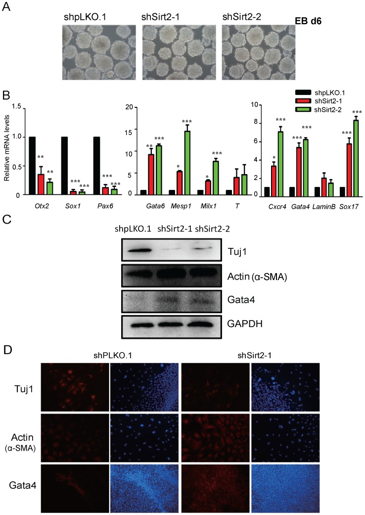 Knockdown of Sirt2 results in the alteration of mouse ESC lineage commitment. ( A ) Phase-contrast images of EB at day 6. All Figures 100×. ( B ) Real-time PCR shows the relative mRNA expression levels of the ectoderm marker genes (Otx2, Sox1 and Pax6), the mesoderm marker genes (Gata6, Mesp2, Mixl1 and T) and the endoderm marker genes (Cxcr4, Gata4, LaminB and Sox17) in control (shpLKO.1) and two Sirt2 stable knockdown cell lines (shSirt2-1 and shSirt2-2) during EB differentiation at day 6. Data were normalized to Gapdh mRNA expression levels and are means ±SEM (n = 3). P