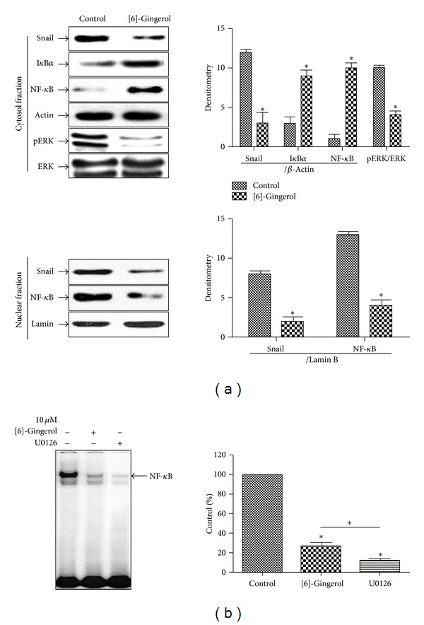 Effect of [6]-gingerol on the DNA-binding activity of NF- κ B in PANC-1 cells. (a) Nuclear and cytosolic extracts were prepared using the NE-PER nuclear and cytoplasmic extraction kit from PANC-1 cells treated with [6]-gingerol for 24 h. Western blotting was then performed on each fraction. Actin was used as an internal control for, the cytosolic fraction, and lamin was applied as an internal control for the nuclear fraction. (b) Cells cultured under the same conditions were pretreated for 30 min with U0126, an ERK inhibitor. Cells were then tested for the DNA-binding activity of NF- κ B by EMSA. Band intensities in the immunoblots were quantified by densitometry using L Process and MultiGauge software. Band intensities were normalized relative to the internal control and background. Data represent the mean ± SD from three independent experiments. Statistical analyses (Student's t -test and one-way ANOVA) were performed using GraphPad Prism 5. * P