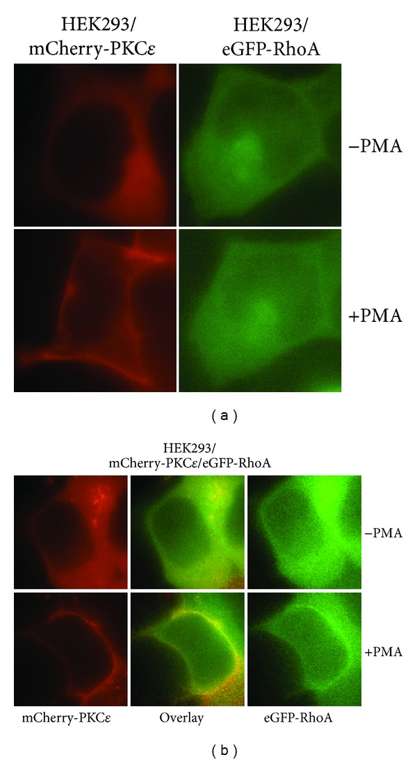 PKC ε colocalizes with RhoA at the cell membrane. (a) PKC ε translocates to the cell membrane, and RhoA remains localized at the cytoplasm in response to PMA. HEK293 cells were transfected with mCherry-PKC ε (left panel) or eGFP-RhoA (right panel). Fluorescence images were captured prior to and 15 minutes after PMA (100 nM) stimulation. (b) PKC ε colocalizes with RhoA at the cell membrane. HEK293 cells were cotransfected with mCherry-PKC ε and eGFP-RhoA. Fluorescence images were captured prior to and 15 minutes after PMA (100 nM) stimulation.