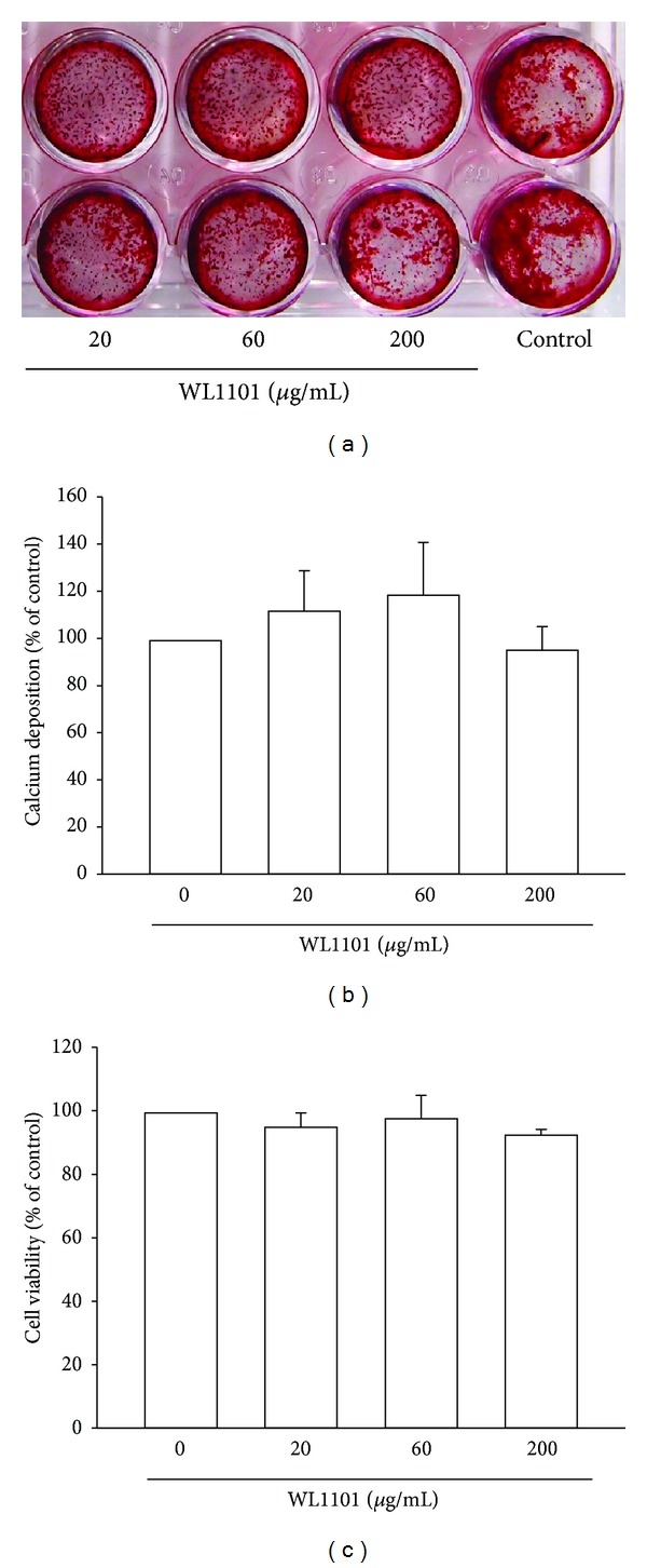 WL1101 exerts no significant effect on calcium deposition and cell viability in primary cultured rat osteoblasts. (a) For calcium deposition analysis, primary osteoblasts were cultured in 24-well plates and exposed to WL1101 in the presence of L-ascorbic acid and  β -glycerophosphate for 14 days. Long-term treatment with WL1101 exerted no effects on the mineralized deposition of osteoblasts on day 14. The quantitative data are shown in (b) ( n  = 4). (c) For cell viability assay, primary osteoblasts were cultured in 24-well plates and incubated with WL1101 for 2 days. Treatment with WL1101 at 20–200  μ g/mL did not affect cell viability ( n  = 3). Each value represents the mean ± SEM.