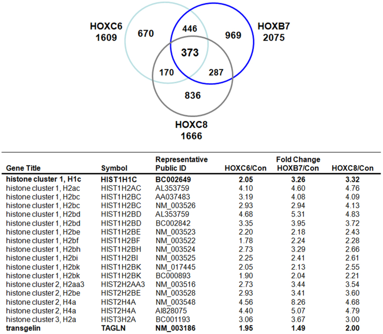HOXB7, HOXC6 and HOXC8 signalling down-stream regulated genes were analyzed in human VW-MPSCs by gene expression profiling using Affymetrix® DNA chips. Results are presented as scheme depicting numbers of genes significantly altered upon siRNA silencing (mean signal control (average) compared to mean signal HOXC6 (average) as well as HOXB7 (average) and HOXC8 (average)). For each probe set three (Control, HOXC6, HOXB7) and two (HOXC8) Affymetrix® DNA chips were used. Histone genes as well as TAGLN which were represented on the chips are listened and fold induction (siRNA treatment/control) was calculated. For complete list see Supplementary Table S1 online.