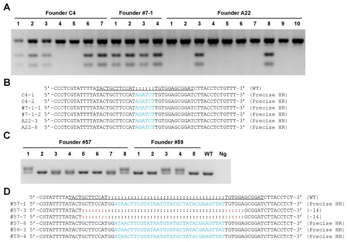 Germline transmission of the targeting modification. a. The representative gel electropherogram of the genotyping result by BglII digestion of the PCR product. F1 mice derived from founders C4, #7-1, and A22 were genotyped by BglII digestion of the PCR product (592 bp) amplified from tail genomic DNA of 5-day-old pups. The PCR product from the wild type c-kit allele cannot be digested by BglII (WT), while the targeted mutant allele can be digested by BglII into two distinct fragments (238 bp and 354 bp). The PCR primers are listed in Table S1 . b. Sequence analysis of the BglII restriction site insertion. The F1 mice 1 2 from founder C4, #1 2 from founder 7-1, and #3 8 from founder A22 were selected for sequence analysis to confirm precise restrict site insertion. ZFN binding site is underlined. BglII sites are highlighted in blue. WT, wild type. c. The representative gel electropherogram of the genotyping results by PCR amplification. A total of 13 F1 mice from founder 57 59 with loxP integration were genotyped by PCR amplification using tail genomic DNA from 5-day-old pups. The expected wild type (WT) band is 178 bp, while the expected mutant band is 214 bp. The PCR primers are listed in Table S1 . Ng, negative control. d. Sequence analysis of the mutant c-kit allele of the F1 mice 1, 3, 7, and 8 from founder 57, and #3 4 from founder 59. The targeted region of the mouse c-kit locus was PCR-amplified from tail genomic DNA of 5-day-old founders and subjected to sequencing. Precise loxP integration was detected in F1 mice 1 3 from founder 57, 3 4 from founder 59. ZFN binding site is underlined. loxP sites are highlighted in blue. Deletions are highlighted in red. WT, wild type.