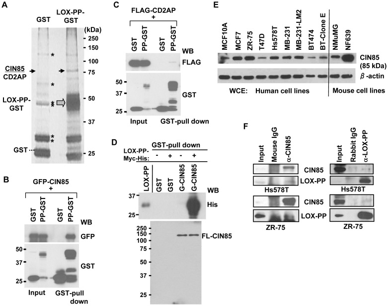 Identification of CIN85 and CD2AP as LOX-PP interacting proteins in breast cancer cells. ( A ) Extracts from ZR-75 cells transfected with vectors expressing GST or LOX-PP-GST were precipitated with Glutathione-Sepharose 4B beads, resolved by SDS-PAGE and silver stained. The band(s) at ∼85 kDa was analyzed by LC-MS/MS mass spectrometry and identified as CIN85 and CD2AP. *, non-specific proteins. The positions of the co-precipitated CD2AP/CIN85 and LOX-PP proteins are indicated by the solid and large hatched arrows, respectively, and of GST by the dashed line. ( B–C ) GST or LOX-PP-GST (PP-GST) was co-expressed with GFP-CIN85 WT (B) or FLAG-CD2AP (C) in HEK293T cells, and LOX-PP associated proteins isolated by GST-pull down assays and subjected to WB for GFP (B) or FLAG (C) and GST. Input, 4% of lysates (4%). ( D ) Recombinant LOX-PP-myc-His (0.5 µM) was subjected to a GST-pull down assay using 0.5 µM of either GST or GST (G)-CIN85, and WB for the His or CIN85 (Calbiochem) antibody. Input, 5%. ( E ) Samples of whole cell extracts (10 µg) of the indicated human and mouse cells were subjected to WB for CIN85 (Upstate). ( F ) (Left) TX-100 extracts of Hs578T (Upper) or ZR-75 (Lower) cells were immunoprecipitated with mouse IgG or CIN85 (Upstate) antibody, and analyzed for CIN85 (Upstate) and LOX-PP. (Right) TX-100 extracts of Hs578T (upper) or ZR-75 (lower) cells were immunoprecipitated with rabbit IgG or LOX-PP antibodies, and subjected to WB.