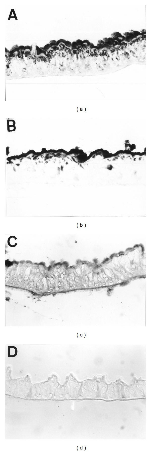Detection of in vitro bound biotinylated ICPs on A. gemmatalis guts tissue: Cry1Aa (a), Cry1Ac (b), and Cry1Ba (c). Negative control (d) when tissue sections were incubated with the biotinylated ICPs (e.g., Cry1Aa) and omission of AP-conjugated streptavidin or when tissue section were incubated with the AP-conjugated streptavidin and omission of biotinylated ICPs. Light micrograph obtained with Nomarski differential interference contrast illumination.