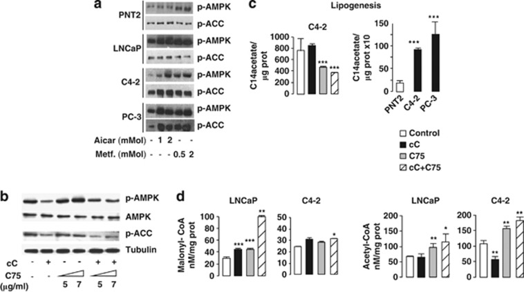 Combined AMPK and FASN inhibition induces malonyl-CoA accumulation in PC cells. The AMPK and FASN inhibitors' concentration used in all in vitro experiments were as follows: cC 1 μg/ml, araA 0.5 m M and C75 7 μg/ml, unless otherwise indicated. ( a ) Immunoblot analysis of phospho (p)-AMPK and p-ACC in PNT2, LNCaP, C4-2 and PC-3 cell lines at 24 h following treatment with increasing concentration of AMPK activators AICAR or metformin (Metf.). ( b ) Immunoblot analysis of p-AMPK, total AMPK, p-ACC and tubulin in the LNCaP cell line at 24 h following treatment with either 1 μg/ml cC alone, 5–7 μg/ml C75 alone or with cC combined to increasing C75 concentrations. ( c ) Lipid synthesis through [ 14 C]palmitate incorporation into TAG was measured in C4-2 cells at 24 h following treatment with either cC, C75 or cC+C75 (left panel). Basal lipid synthesis levels were quantified in normal prostate PNT2 cells compared with C4-2 and PC-3 PC cells. ( d ) Cellular contents in malonyl-CoA and acetyl-CoA were measured in PNT2, LNCaP or C4-2 cells at 24 h following treatment with either cC, C75 or with combined cC+C75 treatment.