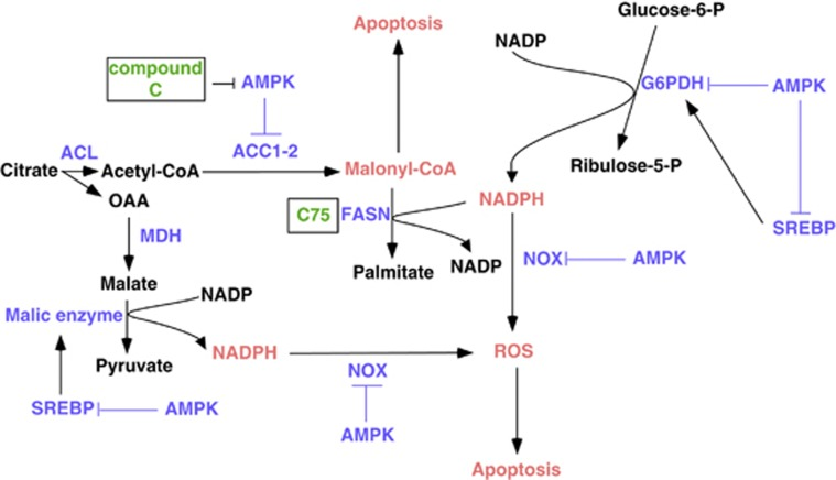 Hypothetical mechanism underlying the proposed metabolic therapy. Inhibition of AMPK, in the context of inactive FASN, influences several metabolic pathways. First, AMPK inhibition activates ACC-mediated malonyl-CoA formation, the accumulation of which has apoptotic effects. Second, AMPK inhibition results in the activation of SREBP and of ME and G6PDH enzymes, resulting in the accumulation of NADPH. Moreover, FASN inhibition leads to further accumulation of NADPH, which is not used as a substrate for de novo lipids synthesis. As the NOX enzyme is also activated as a result of AMPK inhibition, excess of NADPH substrate will be converted into ROS. Altogether, this results in an increased apoptosis in cancer cells.