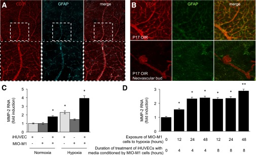 Cooperation between retinal Müller glial cells and ECs increases MMP-2 mRNA levels in cocultured cells. Representative immunofluorescent staining for the EC marker CD31 and the glial cell marker GFAP in the retina of adult ( A ) and OIR ( B ) mice. C : MMP-2 mRNA levels by RT-PCR in cocultures of MIO-M1 cells with iHUVECs under normoxic or hypoxic conditions. D : iHUVECs were cultured at 20% O 2 in the presence of conditioned media (for 4 or 8 h) from MIO-M1 cells exposed to 20% O 2 or 1% O 2 (for 12–48 h, as indicated). Levels of MMP-2 mRNA (normalized to β-actin mRNA) are reported as fold induction compared with untreated controls. All experiments were performed in duplicate and are representative of at least three independent experiments. n = 3 animals in each group. Student t test: * P