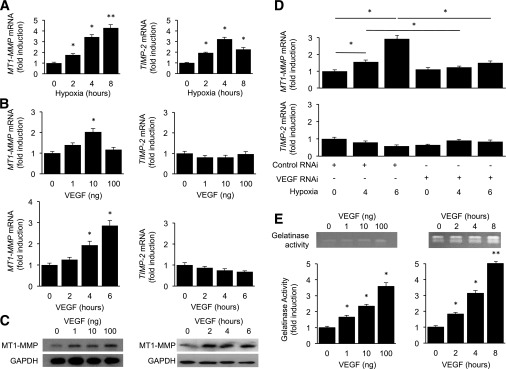 VEGF promotes increased <t>MMP-2</t> activity by increasing MT1-MMP expression in ECs. A : MT1-MMP and TIMP-2 mRNA levels, normalized to β-actin mRNA after exposure of iHUVECs to hypoxia for 0–8 h, reported as fold induction compared with untreated controls. B : MT1-MMP and TIMP-2 mRNA levels, normalized to β-actin mRNA after treatment of iHUVECs with increasing doses of rhVEGF for 6 h or increasing duration of treatment with 10 ng rhVEGF, reported as fold induction compared with untreated controls. C : Western blot for MT1-MMP in iHUVECs treated with increasing doses of rhVEGF (for 8 h) or increasing duration of treatment (with 10 ng rhVEGF). GAPDH was used as a loading control. D : MT1-MMP and TIMP-2 mRNA levels (RT-PCR) in iHUVECs treated with conditioned media from MIO-M1 cells exposed to hypoxia (0–6 h) with or without RNAi against VEGF mRNA reported as fold induction compared with untreated controls. E : MMP-2 enzymatic (gelatinase) activity after treatment of iHUVECs with increasing doses of rhVEGF (for 6 h) or increasing duration of treatment (with 10 ng rhVEGF), reported as fold induction compared with untreated controls. All experiments were performed in duplicate and are representative of at least three independent experiments. n = 3 animals in each group. Student t test: * P