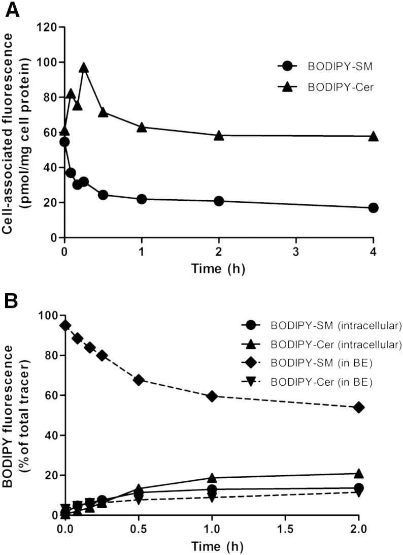Analysis of PM-located BODIPY-SM. CATH.a cells were cooled at 4 °C for 10 min and pulse-labeled with BODIPY-SM (1 μM for B. cereus SMase treatment and 2 μM for the BE protocol) in serum-free culture medium for 30 min at 4 °C. (A) Cells were washed and chased in serum-free culture medium at 37 °C for 60 min to enable BODIPY-SM internalization. Cells were then subjected to B. cereus SMase treatment (150 mU/ml) in serum-free culture medium at 37 °C up to 4 h. Cellular lipid extracts were analyzed by HPLC. (B) After pulse labeling cells were washed and chased at 37 °C. At the indicated times cells were subjected to BE at 4 °C followed by BODIPY-SL analysis in the BE fractions and cell extracts by HPLC. Results shown represent mean values from one representative experiment performed in duplicates.