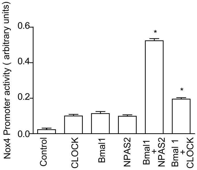 Nox4 promoter is regulated by the circadian clock. Human Nox4 promoter transactivation was assessed by a dual luciferase assay in transfected COS cells expressing the Nox4 promoter Gaussian luciferase in the presence and absence CLOCK, Bmal1, NPAS2, Bmal1+NPAS2 andBmal1+Clock. Cotransfection with Bmal1 and NPAS2 or Bmal1 and Clock significantly induced Nox4 promoter activity (*p