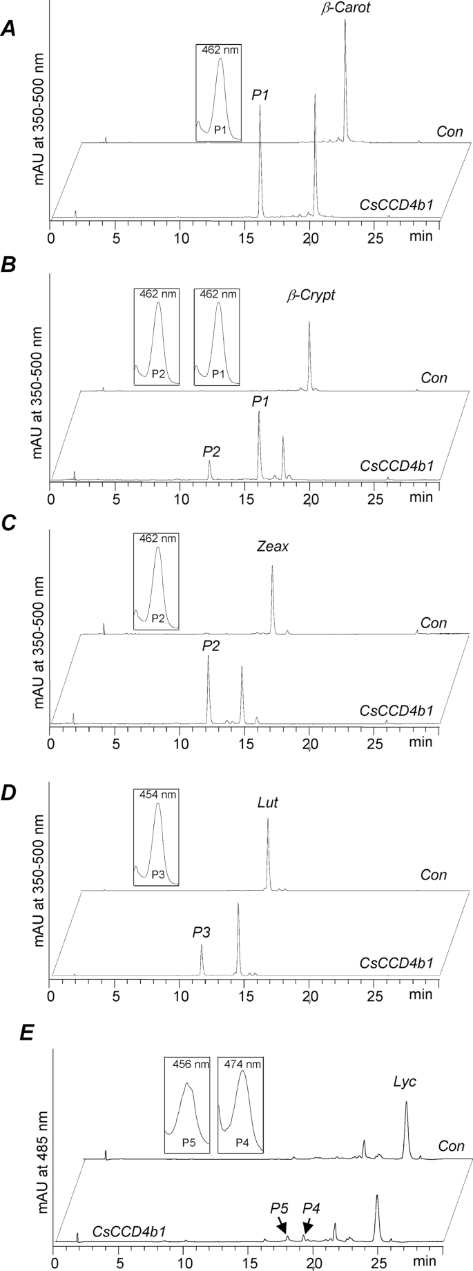 HPLC analysis of the in vitro enzymatic activity of Citrus CCD4b1. Assays were incubated for 1h, except for lycopene which was incubated for 6h. The crude lysate of thioredoxin-CCD4b1-expressing E.coli cells (CCD4b1) converted (A) β-carotene into β-apo-8′-carotenal (P1), (B) β-cryptoxanthin into P1 and β-citraurin (P2), (C) zeaxanthin into P2, (D) lutein into 3-OH-ε-apo-8′-carotenal (α-citraurin) (P3), and (E) lycopene into apo-8′-lycopenal (P4) and apo-10′-lycopenal (P5). UV-Vis spectra of obtained products are depicted in the insets. No conversion was observed with the corresponding controls corresponding to crude lysates of thioredoxin-overexpressing cells (Con).