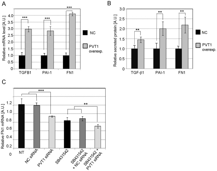Effect of PVT1 on TGF-β1, PAI-1 and FN1. Relative quantification of TGF-β1, PAI-1, and FN1 mRNA ( A ) or secreted protein ( B ) in MC with PVT1 over-expression. Cells were transfected with plasmid pCMV-PVT1 or empty vector pCMV (NC, negative control) by electroporation using the Neon System. ( C ) Changes in expression of FN1 mRNA in MC treated with 30 nM PVT1 or NC siRNA, in the presence or absence of the TGF-β signaling inhibitor SB431542. NC siRNA comprised of sequence not found in the human genome. MC were transfected using 5 µl Lipofectamine RNAiMax (Life Technologies) per ml of MsBM media. Results represent averages from three independent experiments. Data are means ± SD. A.U.: arbitrary units. The significance is indicated only for samples that are significantly different from all the others. * P