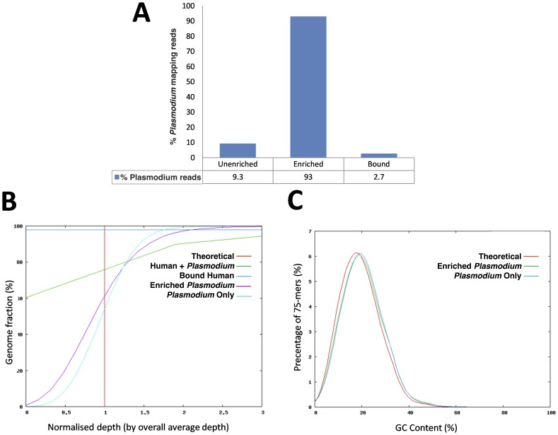 MBD-Fc separates human DNA from human-malarial DNA mixtures. (A) Graph of the percentage of 75 bp Illumina reads mapping to the Plasmodium falciparum reference sequence in the mixture before enrichment (Unenriched), after enrichment (Enriched) and the bound fraction following wash and elution as described above (Bound). (B) Evenness of coverage analysis metrics show enriched malaria reads (Enriched Plasmodium ) in line with pure malaria DNA reads ( Plasmodium Only). Unlike the unenriched input sample (Human + Plasmodium ) showing 60% of the Plasmodium genome uncovered (zero depth), enriched sample (Enriched Plasmodium ) showed even coverage of the genome with no regions lacking coverage. The amount of Plasmodium DNA retained in the pellet (Bound Human) following wash and elution was insignificant. (C) GC-content and bias analysis. No base bias was detected in the enriched sample. Average GC content of the enriched sample (Enriched Plasmodium ) matches the pure malaria sample ( Plasmodium Only) and is very close to the theoretical GC coverage (Theoretical).