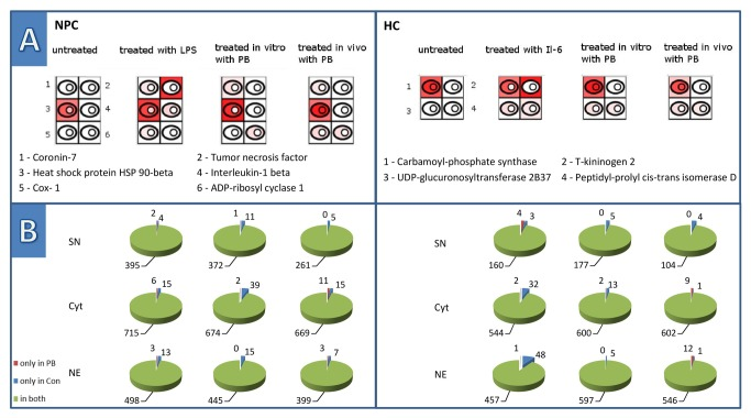 Proteome alterations induced by in vitro treatment of primary cells. Part A) shows schematic representations of a cell and her three sub-compartments, namely the supernatant, the cytoplasm and the nucleus. The intensity of red represents the degree of amount of the selected protein found in the respective compartment in contrast to the other experiments. The higher intensity of red corresponds to a higher occurrence. This allows an easy comparison of the expression levels of a protein in different experimental setups. NPCs induce the secretion of IL-1beta and TNF-alpha upon inflammatory stimulation with LPS. In vitro treatment with PB induced coronin-7 and ADP-ribosyl cyclase 1, which both are also induced by in vivo treatment. The expression of Hsp90, a stress response related protein, was increased upon LPS and PB treatment. Prostaglandin, a protein involved in promotion of proliferation in normal and preneoplastic cells, was induced upon LPS and in vivo PB treatment. HCs respond hardly to the in vitro treatment with PB. Treatment with IL-6 specifically induced the acute phase protein T-kininogen-2. UDP-glucuronosyltransferase 2B37 and the chaperone peptidyl-prolyl cis-trans isomerase D were induced by both in vitro stimulation experiments as well as by the in vivo treatment with PB. Carbamoyl-phosphate synthase is part of the urea cycle and has to be found in all four categories. Proteins in NPC: (1) O35828 Coronin-7, (2) P16599 Tumor necrosis factor, (3) P34058 Heat shock protein HSP 90-beta, (4) Q63264 Interleukin-1 beta, (5) Q63921 Prostaglandin G/H synthase 1, (6) Q64244 ADP-ribosyl cyclase 1. Proteins in HC: (1) P07756 Carbamoyl-phosphate synthase [ammonia], (2) P08932 T-kininogen 2, (3) P19488 UDP-glucuronosyltransferase 2B37, (4) Q6DGG0 Peptidyl-prolyl cis-trans isomerase D. Part B) demonstrates the distribution of distinct proteins within the three fractions, supernatant, cytoplasm and nuclear protein fractions, underneath the respective treatment of the 