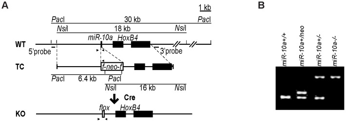 Generation of miR-10a KO mice. (A) Schematic representation of the miR-10a WT locus, the targeting construct used for inactivation and the final miR-10a null allele. The targeting construct (TC) harbored a miR-10a inactivated allele, where 70 nucleotides from the pre-miRNA sequence were replaced with a neomycin resistance cassette ( neo ) flanked by loxP sites and long homologous regions for recombination. To obtain the final miR-10a null allele (KO), the neomycin cassette was removed in the mouse germ line by breeding heterozygous mice to transgenic mice harboring the Cre transgene. Arrowheads depict the sites recognized by different primers used in genotyping of mice. (B) Genotyping PCR of mice with all different miR-10a genotypes generated. Primers L_chkinsrtmiR10a.5d and 10a.internal amplified a 273 bp fragment corresponding to the miR-10 WT allele and 361 bp for the floxed miR-10a KO allele, L_chkinsrtmiR10a.5d and R_chkinsrtmiR10a.5 amplified 291 bp from the miR-10a neo allele. The location of all these primers is depicted in (A).