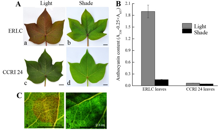 Comparison of leaf colors and analysis of total anthocyanin concentrations of leaves from ERLC and CCRI 24 cultivars grown in light and shade conditions. A, Comparison of leaf colors. The cultivars are indicated on the left and conditions are indicated above. The bar indicates 1; b,A mature leaf of ERLC grown in shade; c, A mature leaf of CCRI 24 grown in light; d, A mature leaf of CCRI 24 grown in shade. B, Total anthocyanin extracted from three fully opened young leaves of each cultivar, respectively, measured using a UV spectrometer. Means of three replicates with error bars indicating standard error (± SD). C, Transient analysis was performed on the leaves of CCRI 24, the Agrobacterium strain GV3101/pBI35S:: ROSEA1 (left), and the negative control GV3101/pBI121 (right). The treated cotton leaves were cultured at 25°C in, 16 h light for three days, and observed for color accumulation by microscopy. Scale bar is 0.4 cm.