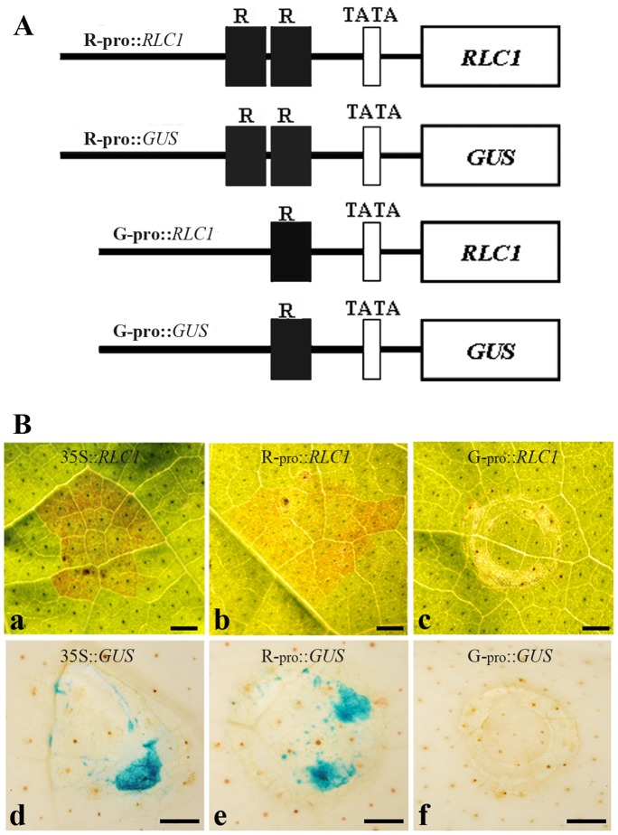 Analysis of RLC1 promoter activity by infiltration. A , Diagrams of constructs for the analysis of RLC1 promoter activity. R −pro : 2300-bp promoter region of RLC1 of ERLC; G −pro : 2080-bp promoter region of RLC1 of CCRI 24 ( Fig. 6 ). B , promoter activity tests were performed using mature young leaves of CCRI 24 using the combination of expression vectors described above. Treated cotton leaves were cultured at 25°C with 16-h light periods for three days, and the leaves were used for color observation or GUS staining. a , A leaf infiltrated with 35:: RLC1 and cultured for three days in light; b , A leaf infiltrated with R−pro:: RLC1 and cultured for three days in light; c , A leaf infiltrated with G − pro:: RLC1 and cultured for three days in light; d , A GUS-stained leaf infiltrated with pBI121 and cultured for three days in light; e , A GUS stained leaf infiltrated with R−pro:: GUS and cultured for three days in light; f , A leaf infiltrated with G − pro:: GUS and cultured for three days in light. Scale bar is 0.1 cm.