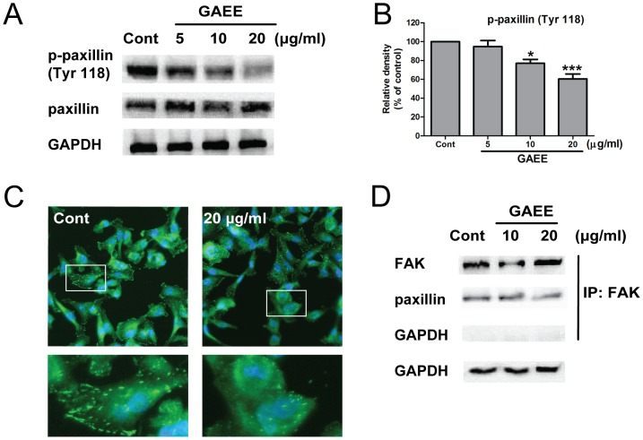 GAEE inhibited activation of paxillin in MDA-MB-231 cells. (A) Cells were treated with increasing concentrations of GAEE for 24 h, lysed, and immunoblotting with paxillin, p-paxillin (Y118). (B) The relative density of p-paxillin (Y118) was normalized against GAPDH by densitometric analysis. The values represented as the mean ±SEM of four independent experiments (* P