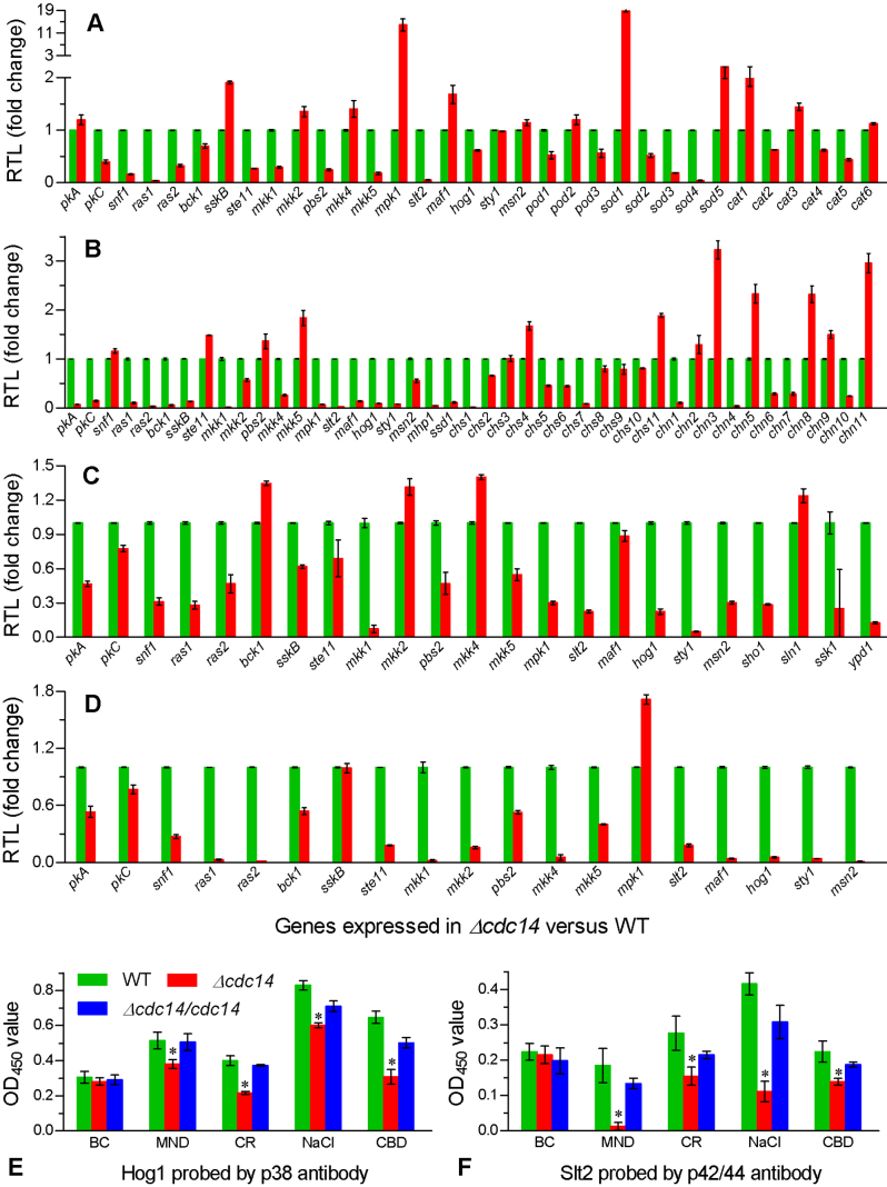 Disruption of cdc14 altered the transcripts of stress-responsive genes and the phosphorylation of Hog1 and Slt2. (A−D) Relative transcript levels (RTL) of stress-responsive genes in the 1/4 SDAY cultures of Δ cdc14 versus wild type supplemented with MND (menadione 0.2 mM), CR (Congo red 0.5 mg/ml), NaCl (0.8 M) and CBD (carbendazim 0.5 μg/ml) for 3-day growth at 25°C respectively (assessed via qRT-PCR with paired primers in Table S1 ). (E and F) OD 450 values for the respective phosphorylation levels of Hog1 and Slt2 in the protein extracts of fungal cultures grown under the same stresses (BC: unstressed blank control). The extracts were probed with phospho-p38 and phospho-p42/44 antibodies. The asterisked bar in each group differs significantly from those unmarked (Tukey's HSD, P