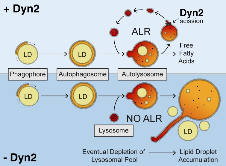 Model for a role of <t>Dyn2</t> in autophagic breakdown of lipid droplets in hepatocytes. After initiation of starvation, lipid droplets are enclosed by the double-membrane isolation membrane (phagophore), which engulfs the droplet, forming an autophagosome. Subsequent fusion with lysosomes results in the release of hydrolytic enzymes and lysosomal lipases into the autolysosomal compartment, which degrade the lipid droplets within. During the process of autophagic lysosomal reformation (top), nascent lysosomes are generated from membrane tubule extensions of this autolysosomal compartment. Dyn2 mediates the scission of these tubular structures. Depletion of Dyn2 by <t>siRNA</t> knockdown or inhibition of Dyn2 activity by pharmacological reagents (bottom) prevents tubular scission, eventually resulting in depleted lysosomal pools within the cell. Continued fusion of remaining lysosomes causes enlargement of the autolysosomal structures. A complete decrease in the recycled lysosomal population will prevent autophagic-mediated breakdown of hepatic lipid droplets.