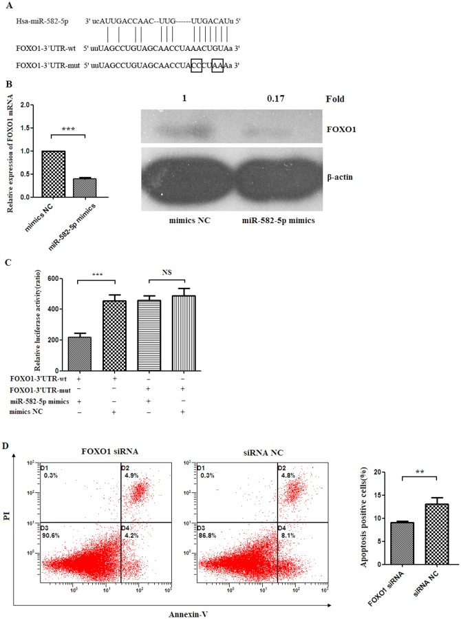 FOXO1 is a direct target of miR-582-5p. (A) Alignment between the predicted miR-582-5p target site of FOXO1 3′UTR region and miR-582-5p. (B) Real time RT-PCR and western blot analysis showing FOXO1 mRNA and protein expression levels in THP-1 cells transfected with miR-582-5p mimics or mimics NC, respectively. (C) Co-transfection of miR-582-5p mimics/mimics NC and FOXO1 3′UTR-luciferase reporter vector into HEK-293T cells demonstrated that significant decrease in luciferase activity was only found in reporter vector that contained a wild type sequence (FOXO1-3′UTR-wt), not in vector that contained a mutant sequence (FOXO1-3′UTR-mut) within the miR-582-5p binding site. Values were presented as relative luciferase activity after normalization to Renilla luciferase activity. FOXO1-3′UTR-wt: pMIR-FOXO1-3′UTR-wt vector; FOXO1-3′UTR-mut: pMIR-FOXO1-3′UTR-mut vector. (D) Representative flow cytometric plots showing apoptotic ratio of THP-1 transfected with FOXO1 siRNA or negative controls of siRNA (siRNA NC) (left panel). The apoptotic percentage of THP-1 cells transfected with FOXO1 siRNA were significantly lower than those transfected with negative control siRNA (siRNA NC) ( p
