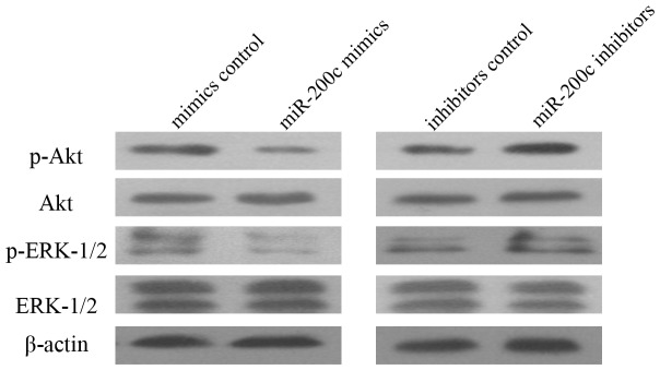 Western blot analysis of VEGFR2 downstream signaling transduction. Ectopic expression of miR-200c inhibited phosphorylation of Akt and <t>ERK1/2,</t> inhibition of miR-200c increased activation of Akt and ERK1/2 pathway. Each experiment was repeated three times.