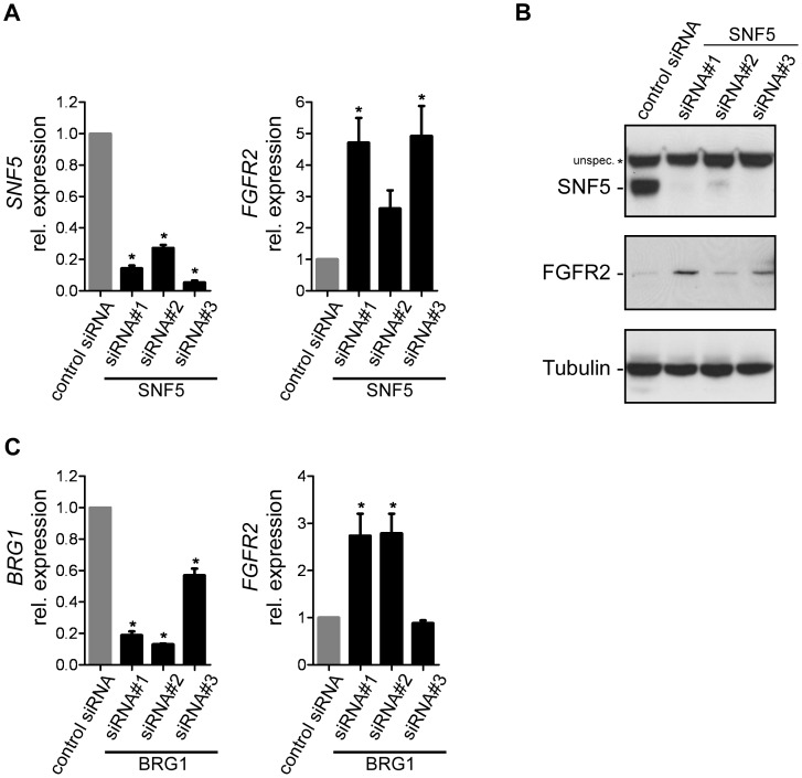 SNF5 loss of function induces FGFR2 expression in human fibroblasts. (A) Effect of siRNA-mediated knockdown of SNF5 on FGFR2 expression in BJ cells. SNF5 and FGFR2 expression levels were analyzed by qRT-PCR at 72 h post siRNA transfection. Expression is shown as relative levels to cells transfected with non-targeting control siRNA and is given as average with SEM (n≥3). E xpression values were normalized to GAPDH mRNA copies. (B) Immunoblot analysis of FGFR2 expression upon knockdown of SNF5 in BJ cells as described in (A). β-Tubulin expression was used to monitor equal loading. (C) Effect of siRNA-mediated knockdown of BRG1 on FGFR2 expression in BJ cells as described in (A).