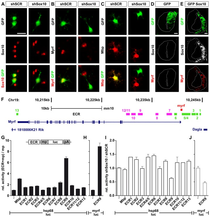 Myrf is a Sox10 target gene in OL. ( A–C ) Primary rat OPC were transfected with expression vectors for scrambled (shSCR) or Sox10-specific shRNAs (shSox10) and GFP, and replated in differentiation medium. One day later, transfected cells were visualized by GFP expression (green) and analyzed for their expression of Sox10 ( A ), Myrf ( B ) and Mbp ( C ) (all in red) as indicated. The yellow color in the merged pictures indicates co-expression. Scale bar, 25 µm. ( D,E ) Neural tube electroporations were carried out in HH11-stage chicken embryos using expression vectors for GFP ( D ) and a combination of Sox10 and GFP ( E ). Analysis was one day after electroporation and the electroporated right side is visualized by GFP expression (green). Sections were simultaneously probed for the occurrence of Sox10 (white) and Myrf (red). Scale bars, 25 µm. ( F ) Several ECR ( ECR1-ECR13 ) are localized in the Myrf genomic interval on mouse chromosome 19 between the adjacent Dagla and 1810006K21 Rik genes. ECR locations relative to introns and exons of the Myrf gene are shown. ECR1-ECR6 and ECR13 (marked in green) are conserved among mammals, ECR7-ECR12 (marked in pink) additionally in birds. ( G, H ) The Myrf ECR were tested in 33B cells after transient transfection for their ability to increase expression of a luciferase reporter under control of a minimal promoter (mp). The minimal promoter was taken from the Hsp68 gene ( hsp68-luc ) ( G ) or the Myrf gene ( myrf-luc ) ( H ). Luciferase activities in extracts from transfected cells were determined 48 hours post-transfection in three experiments each performed in quadruplicates. The luciferase activity obtained for a reporter plasmid containing only the minimal promoter (−) was arbitrarily set to 1. Activities in the presence of ECRs were calculated relative to minimal promoter activity and are presented as mean ± SEM. A reporter in which the minimal promoter was combined with Mbp regulatory regions served as positive control. 