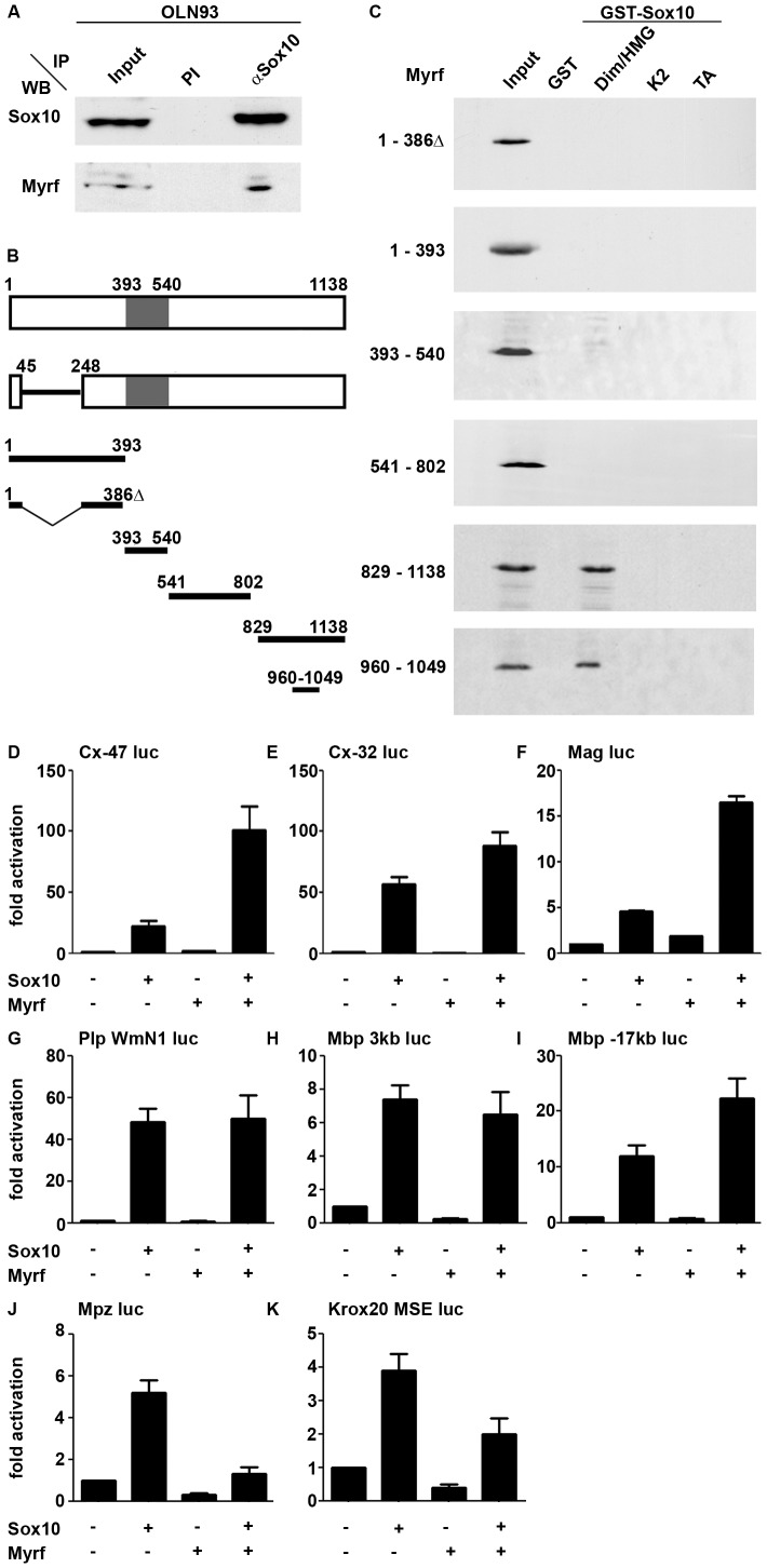 Sox10 and Myrf interact physically and functionally. ( A ) Co-immunoprecipitation (IP) of endogenous Myrf with anti-Sox10 antiserum (αSox10) or preimmune serum (PI) from OLN93 cell extracts. The upper panel shows western blot (WB) detection of Sox10, while the lower panel probes the presence of Myrf in the precipitate using antibodies specifically directed against the carboxyterminal part of the protein. Input corresponds to one tenth of the amount of the protein used in the assay. ( B ) Schematic representation of the Myrf isoform identified by [19] (upper bar, NCBI accession number Q3UR85.2), the splice variant used in this study (lower bar, NCBI accession number AAI57943.1) and various fragments used in interaction studies. Numbers represent amino acid positions. The DNA-binding Ntd80 domain is marked in grey. ( C ) Pulldown assays were performed with Sox10 fragments immobilized as GST-fusions on glutathione sepharose beads and the Myc-tagged Myrf fragments produced in HEK293 cell extracts. Detection of Myrf fragments was by western blot using an antibody directed against the Myc tag. Sox10 regions fused to GST included the dimerization and HMG domains (Dim/HMG), the K2 region and the transactivation domain (TA). ( D–K ) Transient transfections were performed in N2a cells with a luciferase reporter under control of the 727 bp Cx-47 1b promoter ( D ), the 416 bp Cx-32 P2 promoter ( E ), the 626 bp Mag promoter ( F ), the 1.2 kb WmN1 Plp enhancer ( G ), the 3 kb upstream region of the Mbp gene ( H ), a 631 bp conserved region 17 kb upstream of the Mbp gene ( I ), the 415 bp Mpz promoter ( J ) and the 1.3 kb MSE Krox20 enhancer ( K ). Empty pCMV5 expression plasmids (−) or expression plasmids for Sox10 and Myrf were co-transfected as indicated below the bars. Luciferase activities in extracts from transfected cells were determined in at least four experiments each performed in triplicates. The activity obtained for the luciferase reporter in the absence of ectopic t