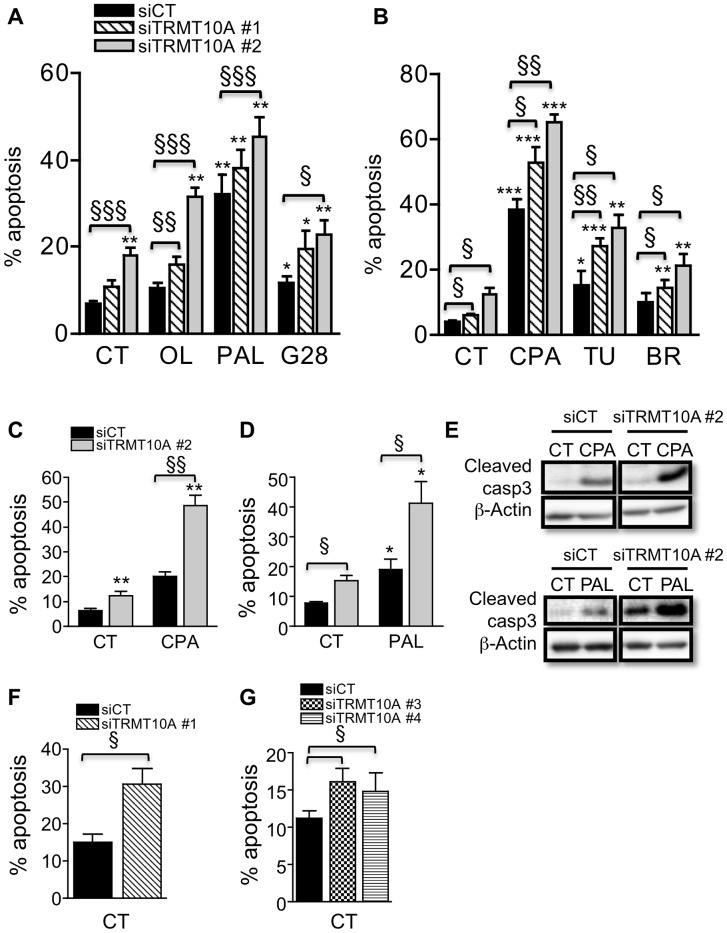 TRMT10A knockdown sensitizes β-cells to FFA-, high glucose- and ER stress-induced apoptosis. INS-1E cells (A–E), primary rat β-cells (F) and dispersed human islets (G) were transfected with control siRNA (siCT) or siRNAs targeting rat (siTRMT10A #1 and #2) or human TRMT10A (siTRMT10A #3 and #4). 48 h after transfection cells were exposed or not (CT) to oleate (OL), palmitate (PAL) and 28 mM glucose (G28), or to the chemical ER stressors cyclopiazonic acid (CPA), tunicamycin (TU) and brefeldin (BR), for 24 (A–B) or 16 h (C–E). Apoptosis was examined by propidium iodide and Hoechst 33342 staining (A–D, F–G) or Western blot for cleaved caspase-3 (E). Results are means ± SE (n = 3–5). The blots are representative of 4 independent experiments. * Treated vs CT; § siTRMT10A vs siCT. One symbol p
